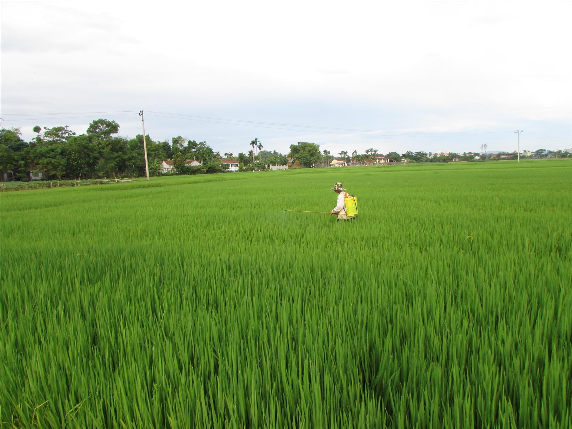 Nông dân phòng trừ sâu bệnh hại lúa đông xuân ở Núi Thành. Ảnh: VĂN PHIN