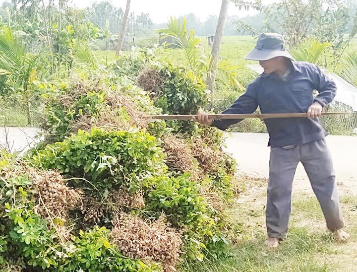Nông dân xã Tam Xuân 2 thu hoạch đậu phụng. Ảnh: N.Q