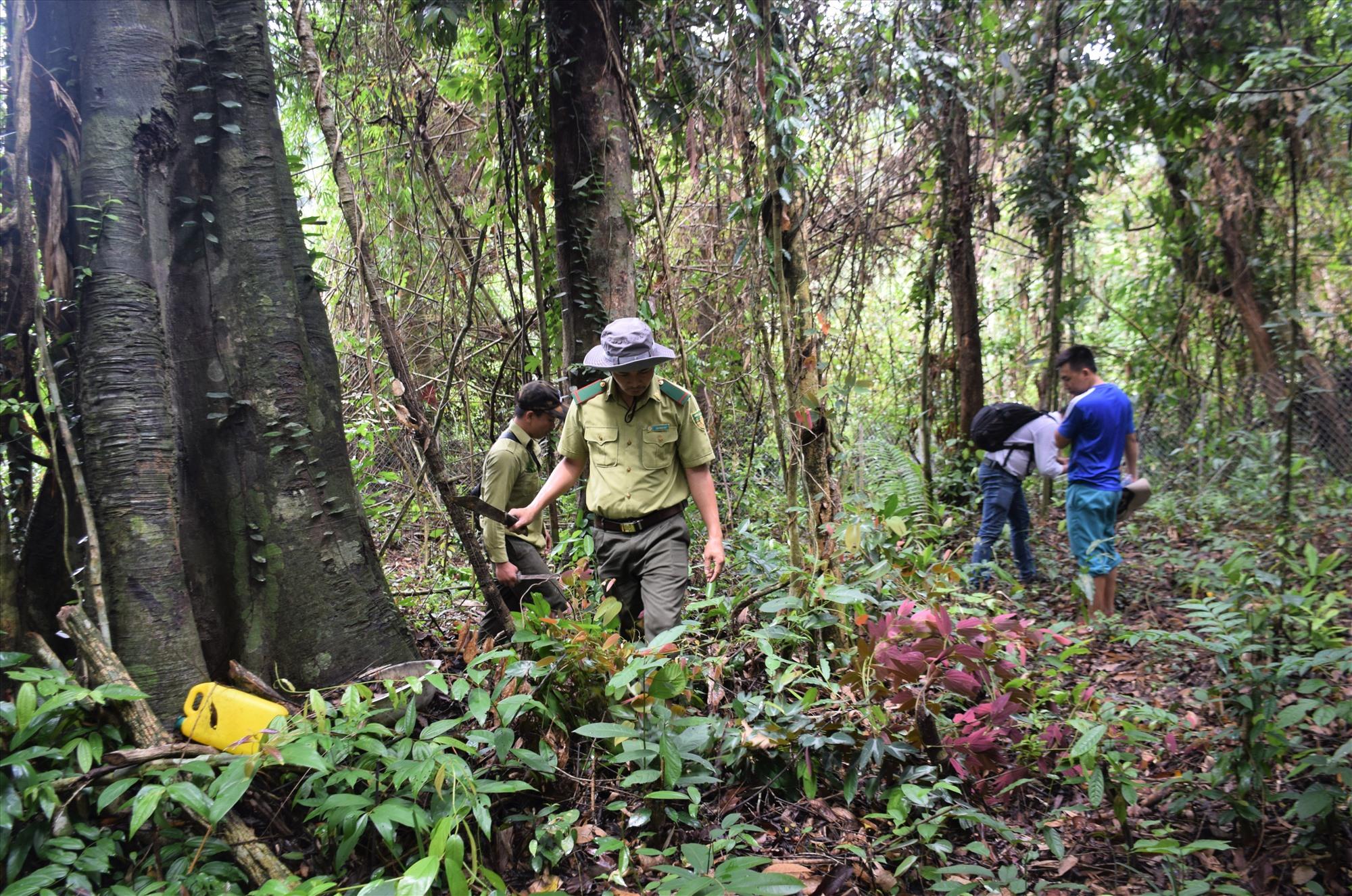 Quảng Nam tăng cường công tác quản lý, bảo vệ rừng và cho thuê môi trường rừng đặc dụng, phòng hộ. Ảnh: M.L