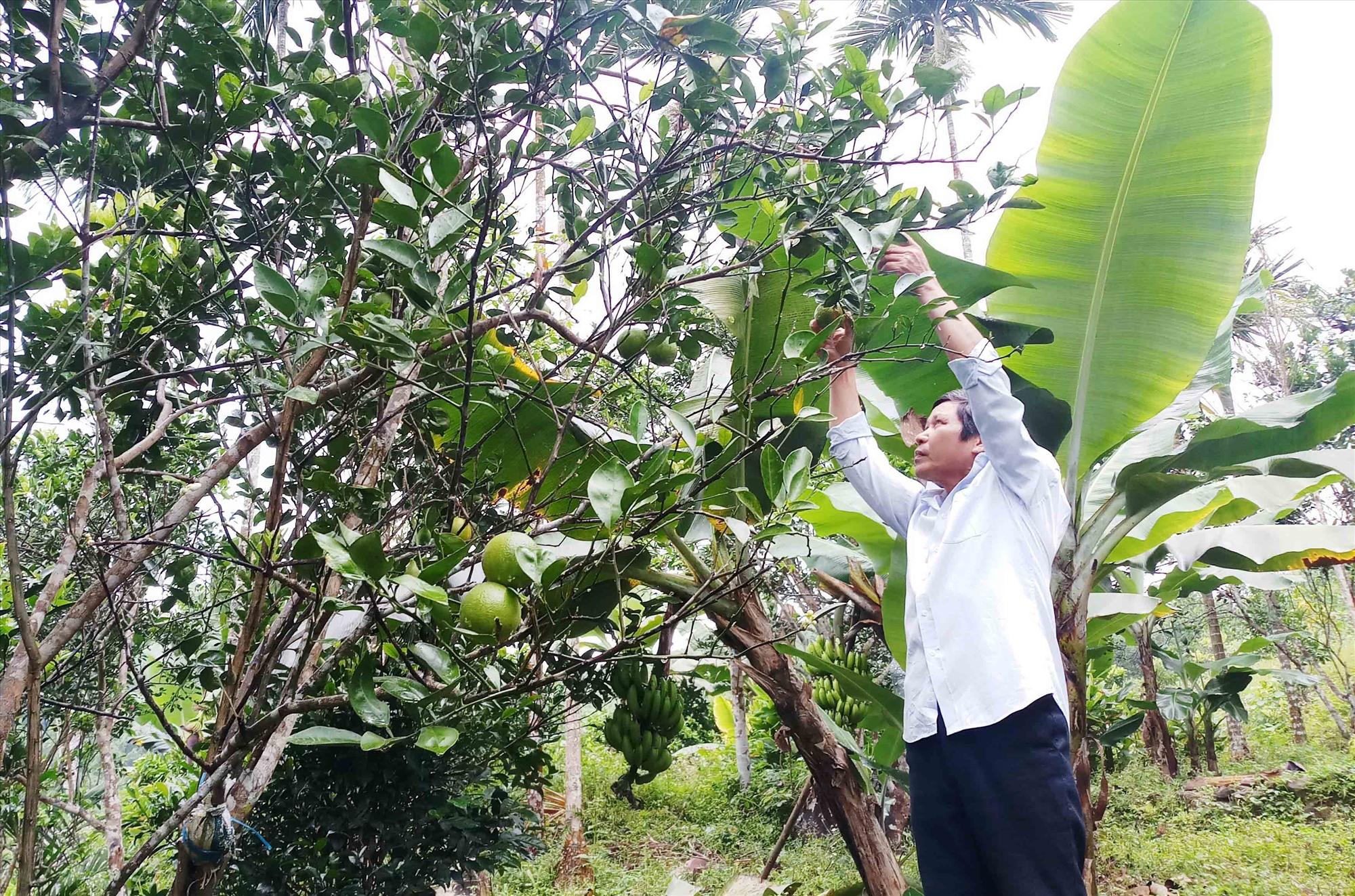 Mô hình trồng cam giấy của gia đình ông Phan Văn Tâm, thôn Tiên Tráng, Tiên Hà (Tiên Phước). Ảnh: H.H