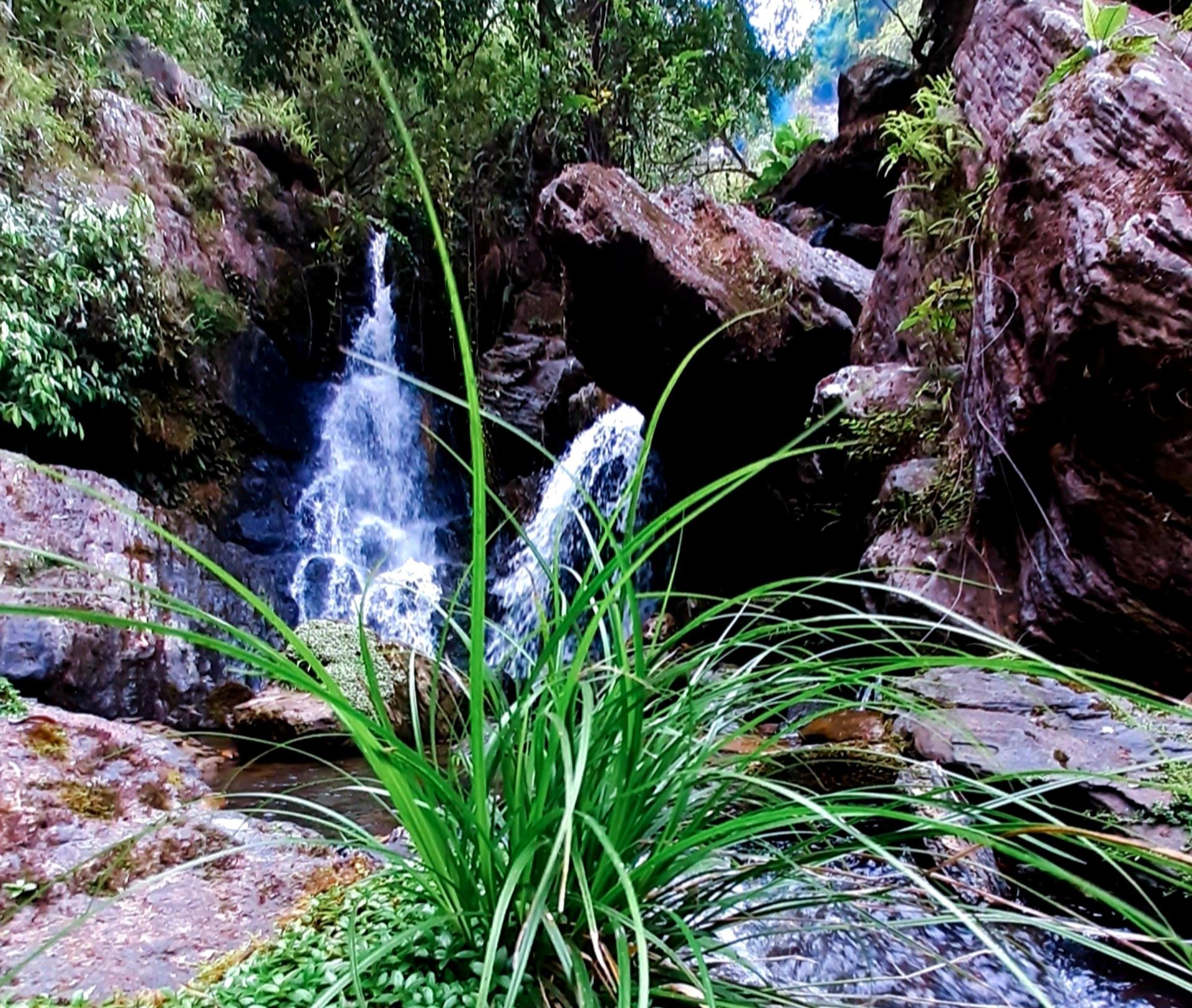 Một bụi lau xanh mướt mọc cạnh dòng suối hiền hòa, tô thêm vẻ đẹp cho thác R'măng. Ảnh: N.L