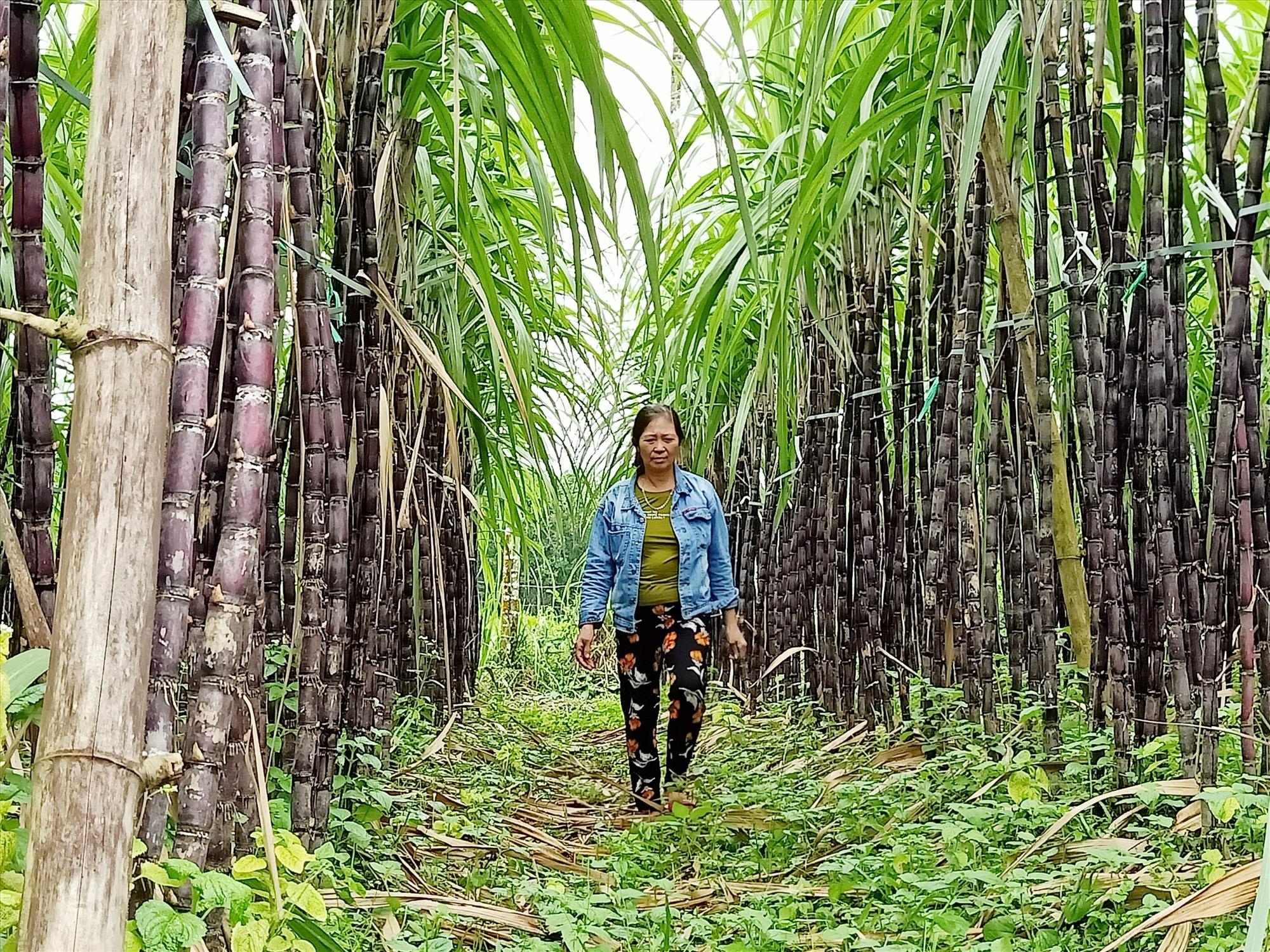 Giống mía tím được trồng thành công ở Trà Giang. Ảnh: HOÀNG LIÊN