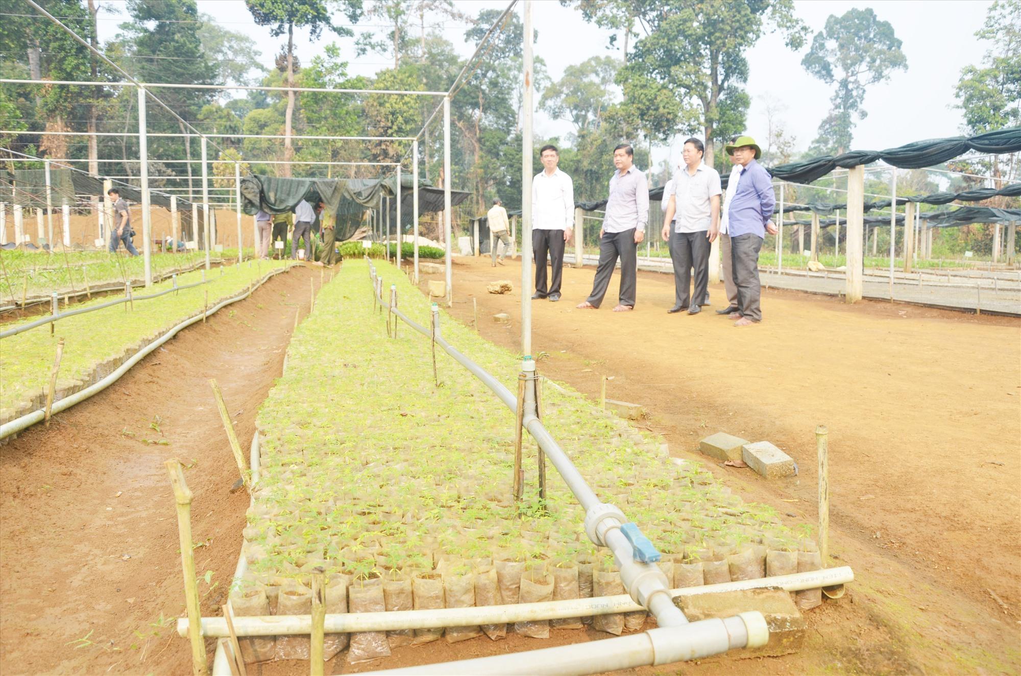 Vườn ươm cây giống lâm nghiệp tại xã Phước Chánh (Phước Sơn) của Công ty CP Gỗ công nghiệp Quảng Nam.Ảnh: T.H