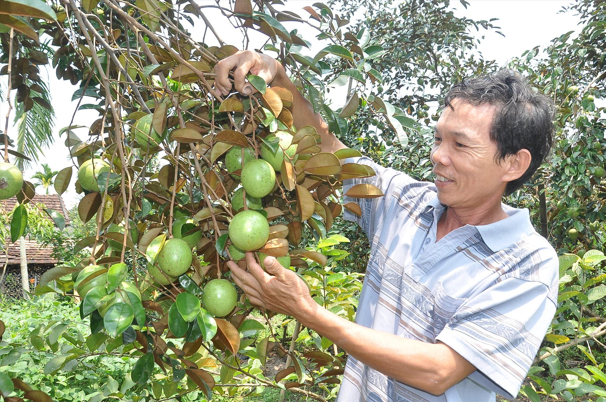 Từ chủ trương xây dựng NTM, cũng như nhiều hộ dân ở xã Tam Thái, ông Trương Văn Phú (thôn Hòa Bình) đã chủ động cải tạo vườn tạp trồng cây ăn quả cho giá trị kinh tế cao. Ảnh: VINH ANH