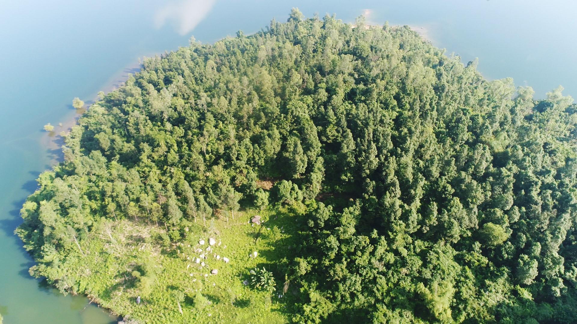 Cánh rừng sao đen trên lưu vực hồ Phú Ninh sinh trưởng và phát triển khá tốt. Ảnh: PHAN VINH