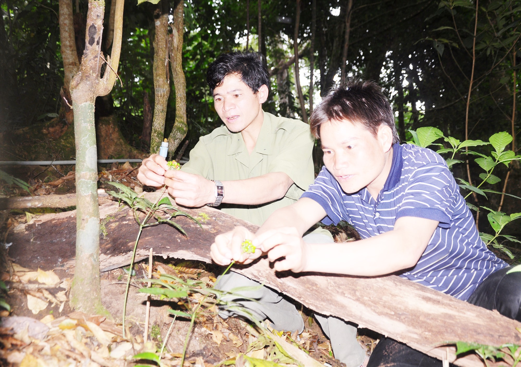 Sâm Ngọc Linh đang là cây chủ lực giảm nghèo của huyện Nam Trà My. Ảnh: N.ĐOAN