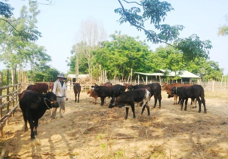 Nông dân Điện Bàn với dự án phát triển Tổ nghề nghiệp chăn nuôi bò sinh sản. (ảnh: N.Trang)