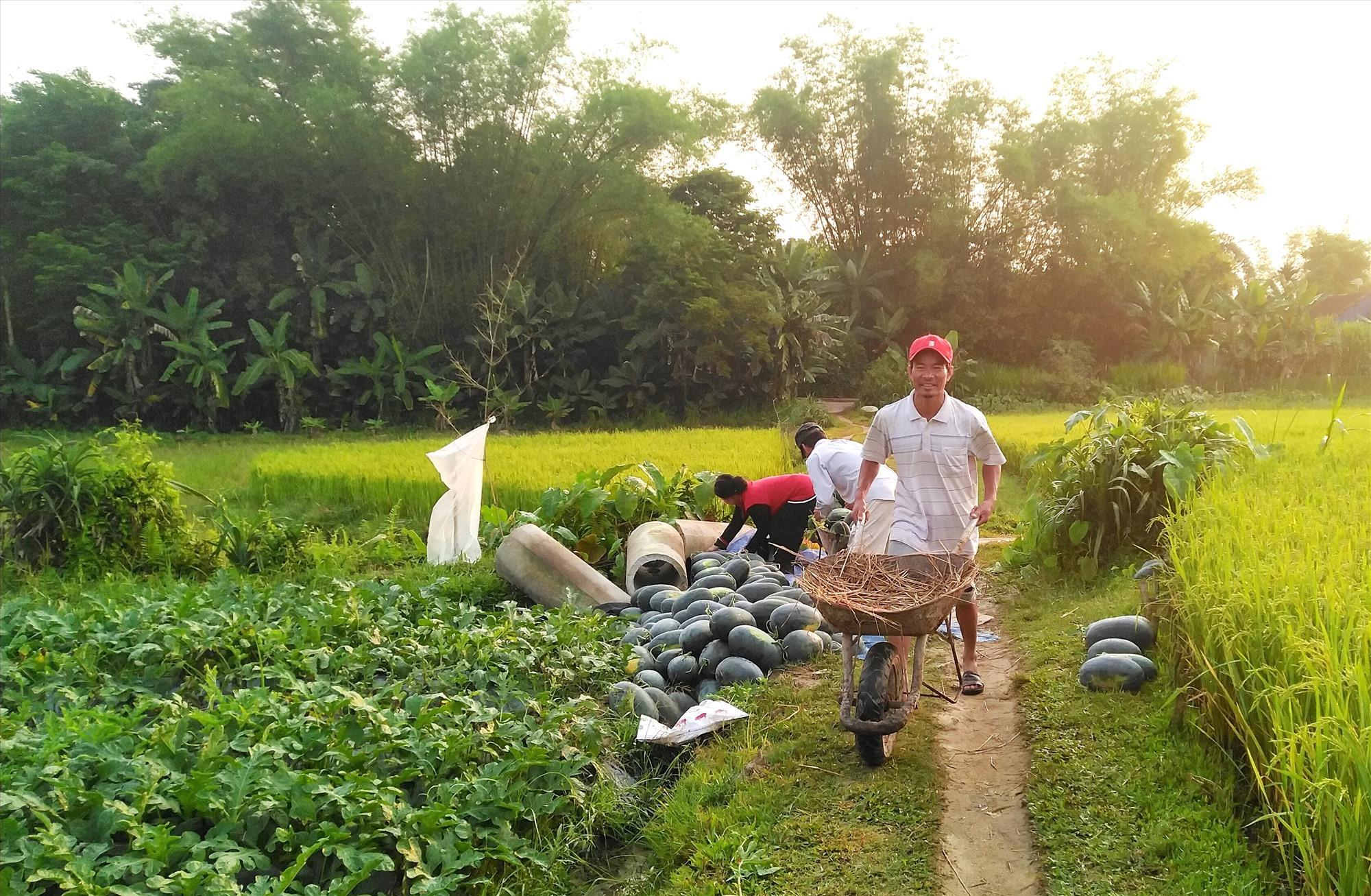 Đang vào vụ thu hoạch nhưng giá dưa hấu biến động từng ngày khiến người nông dân không khỏi lo lắng. Ảnh: M.L