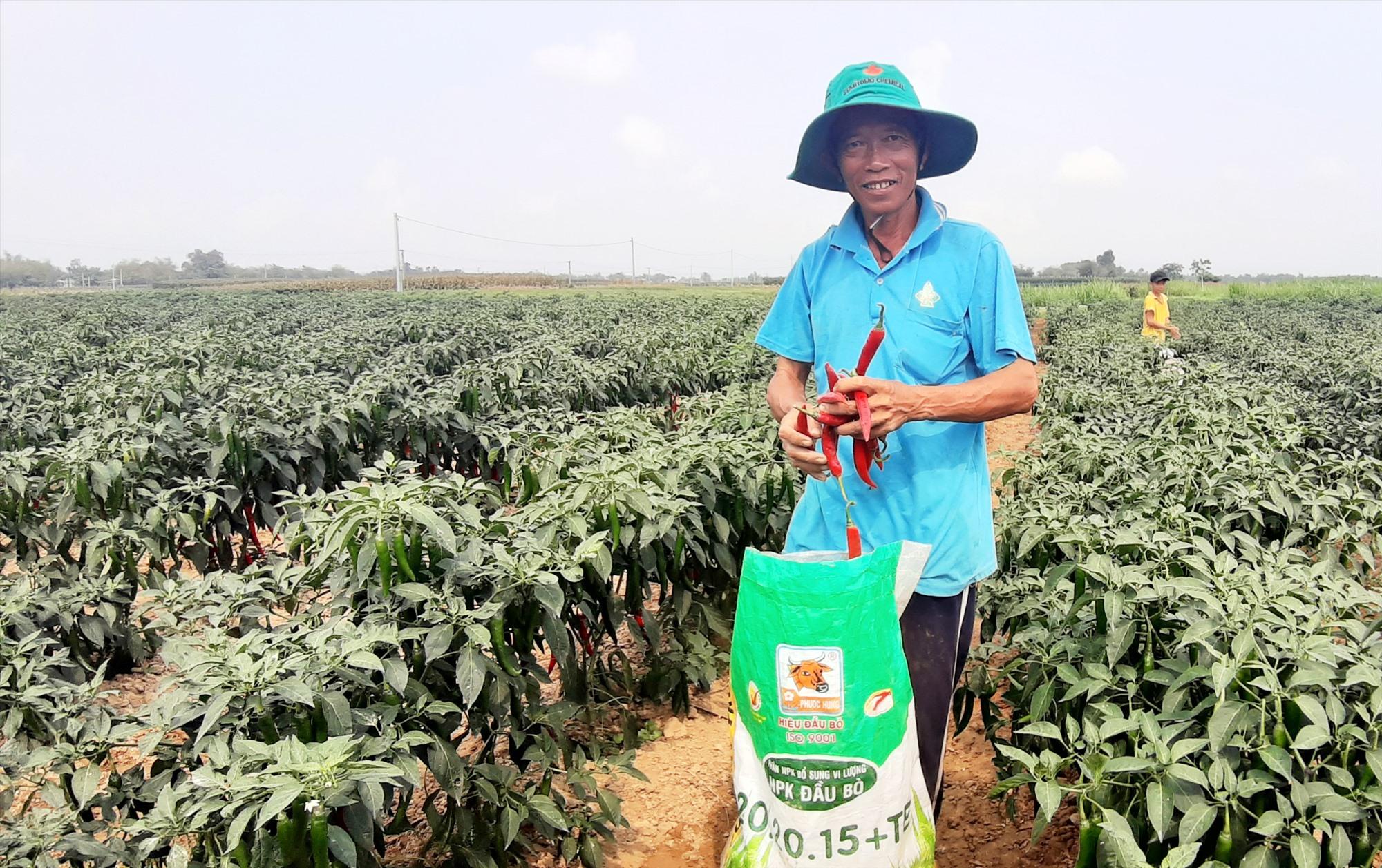 Nhờ liên kết sản xuất với doanh nghiệp, đông xuân này người dân thôn Lệ Bắc (Duy Châu, Duy Xuyên) yên tâm về chuyện đầu ra của cây ớt. Ảnh: HOÀI NHI