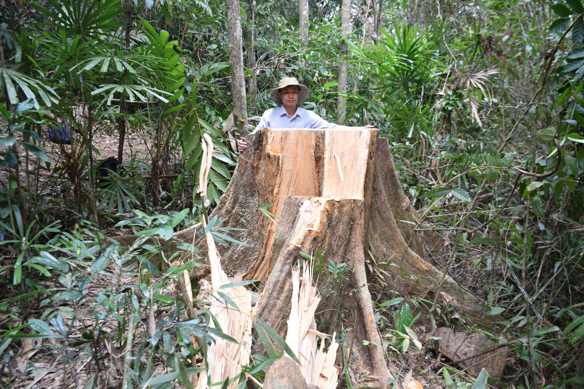 Một cây gỗ lớn ở khu vực rừng đầu nguồn sông Nước Oa, khu vực giáp ranh giữa Trà Tân, Trà Giáp (huyện Bắc Trà My) bị cưa hạ. Ảnh: THANH THẮNG