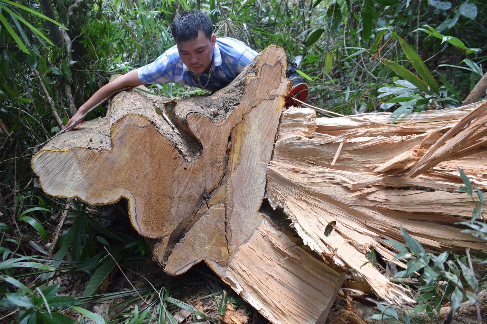 Dấu vết gỗ bị cưa hạ rất mới, nhựa cây vẫn chưa khô. Ảnh: THANH THẮNG