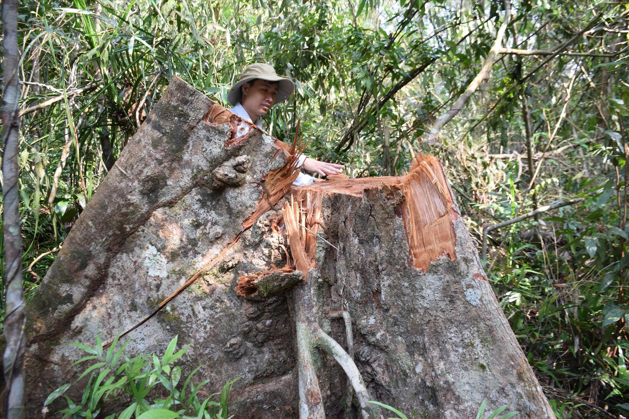 Một gốc gỗ có đường kính gần 1m bị cưa hạ không thương tiếc. Ảnh: THANH THẮNG