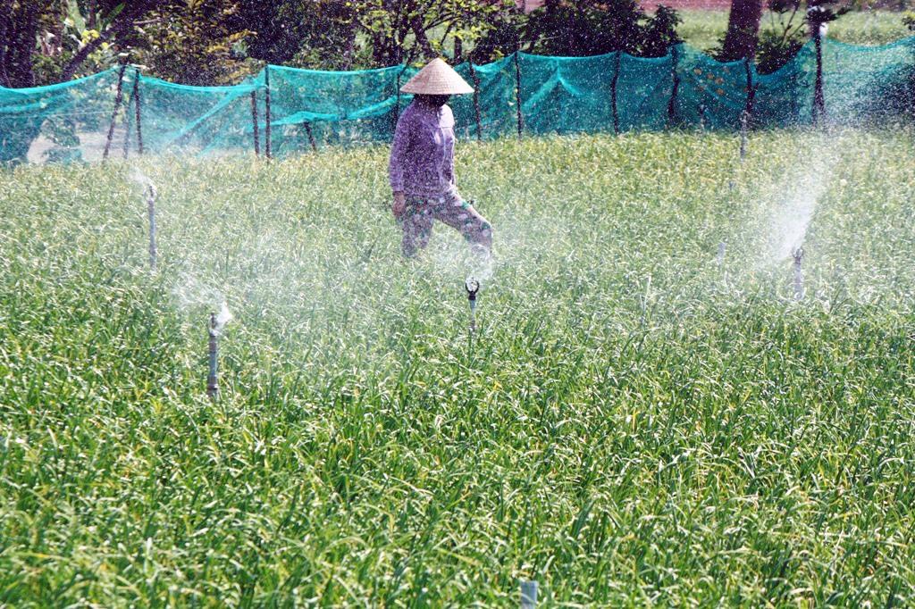 Tưới nước tự động trên cánh đồng tỏi Ninh Phước: Ảnh: NGUYỄN CHUNG