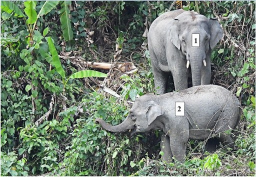 Elephants in a conservation area in Nong Son district, Quang Nam province