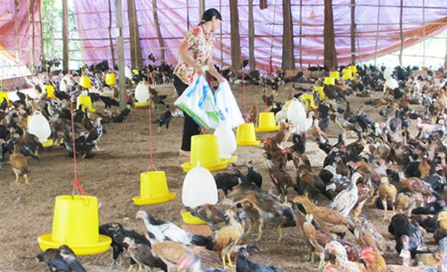 Nhiều HTX chăn nuôi chỉ hoạt động cầm cự để qua cơn đại dịch Covid-19.