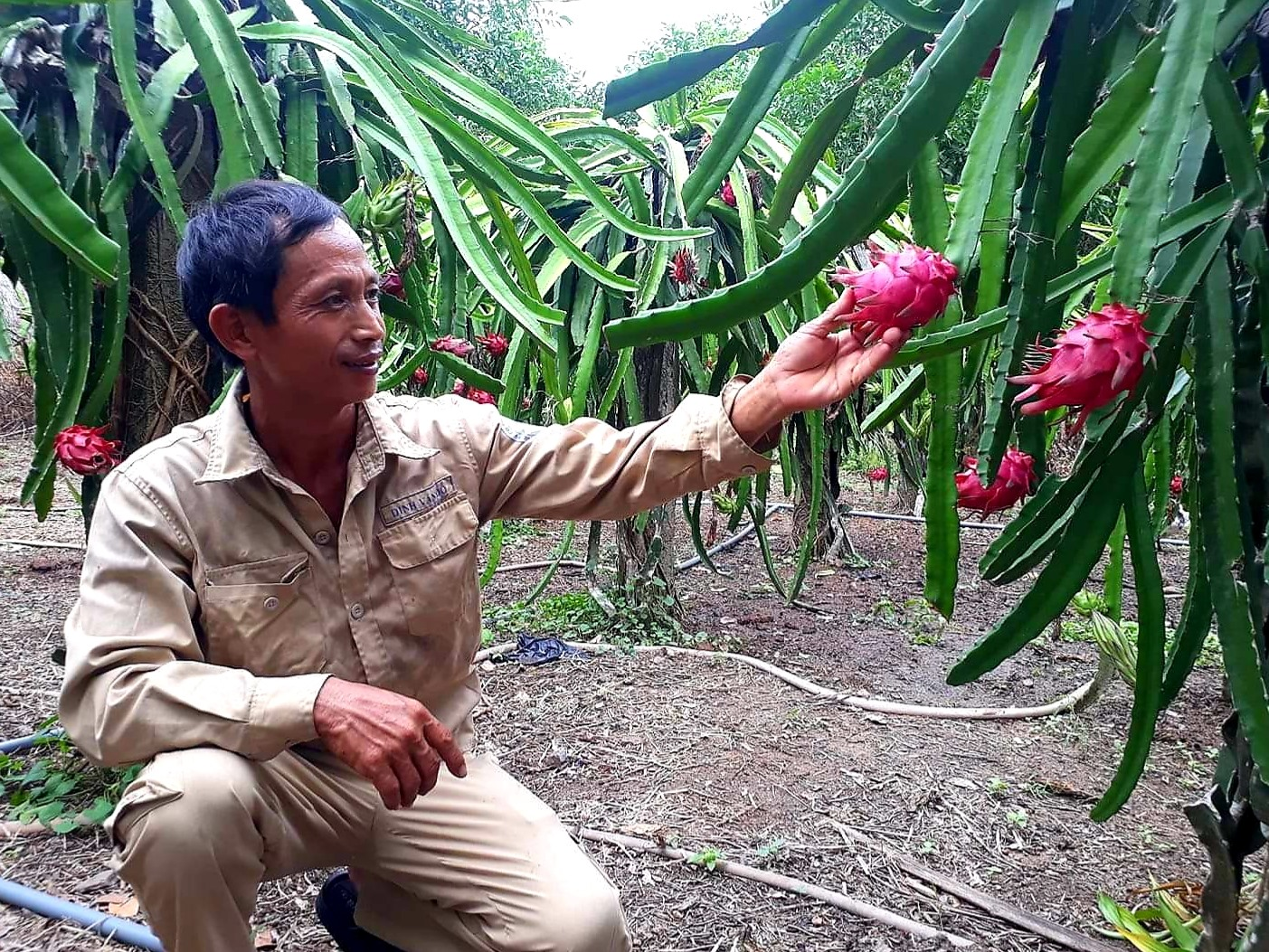 Việc đầu tư phát triển mạnh các mô hình kinh tế vườn đã giúp nhiều hộ dân ở Quế Sơn có nguồn thu nhập đáng kể. Ảnh: T.P