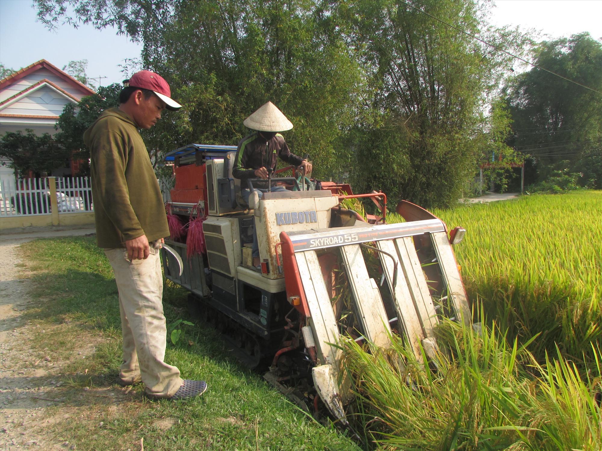 Nông dân thu hoạch lúa ở xã Tam Mỹ Đông. Ảnh: V.P