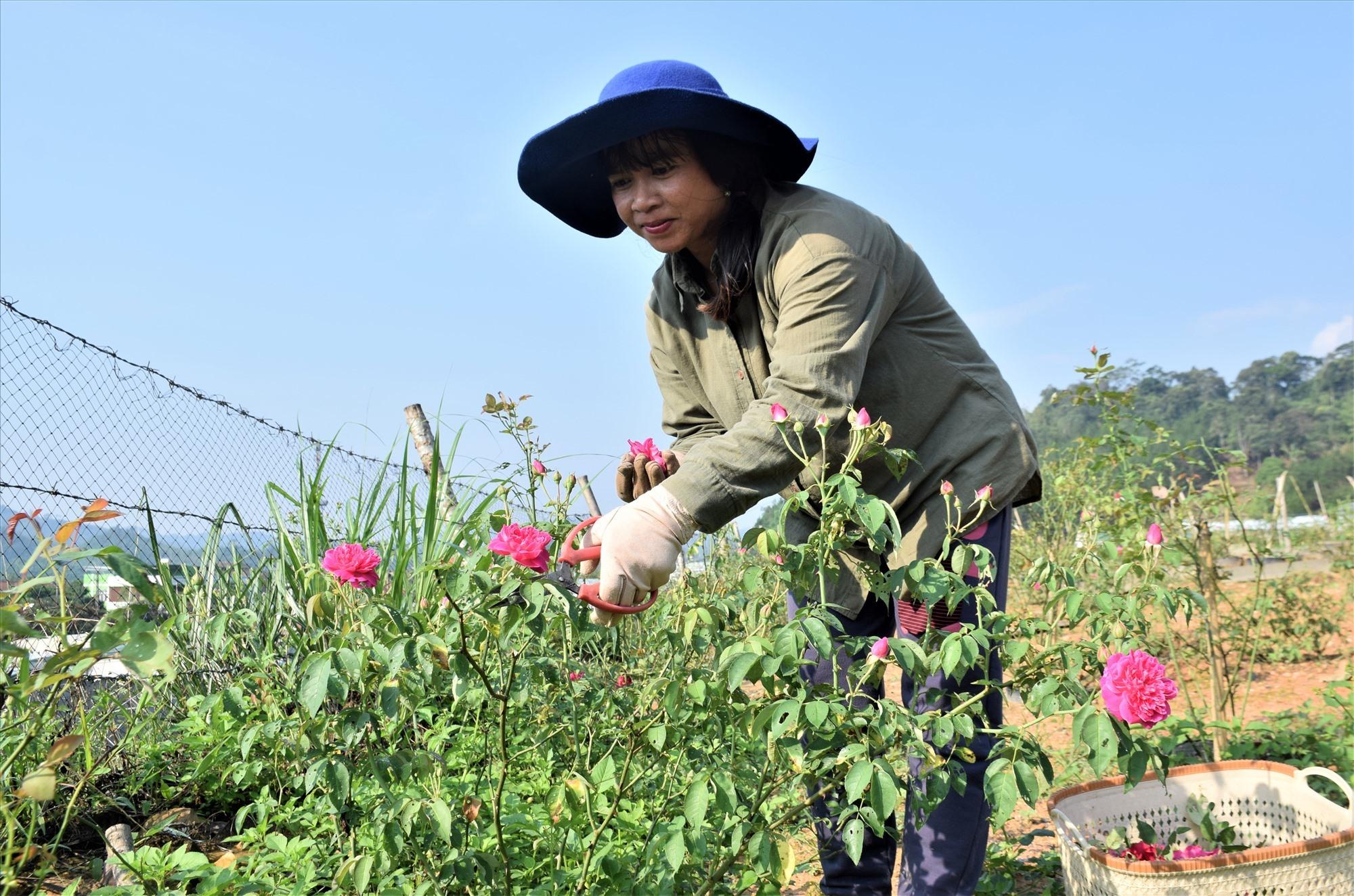 Thu hái hoa hồng tại nông trại hoa hồng. Ảnh: THANH THẮNG