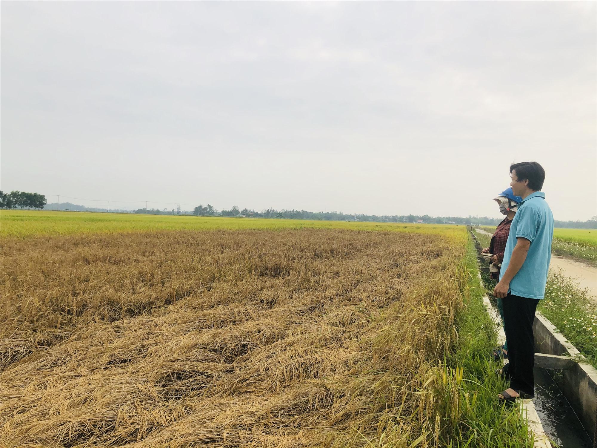 Nhiều diện tích lúa ở Thăng Bình bị rầy gây hại. Ảnh: M.T