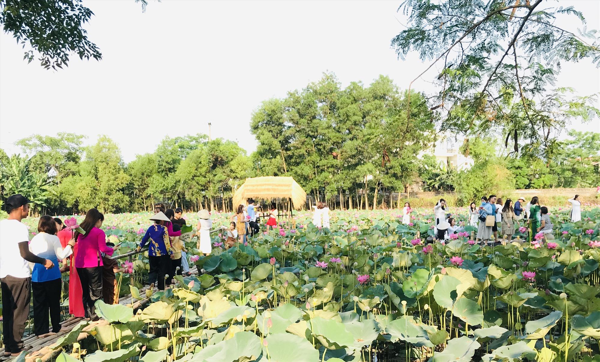 Nhiều du khách trong và ngoài tỉnh check-in hồ sen. Ảnh: C.N