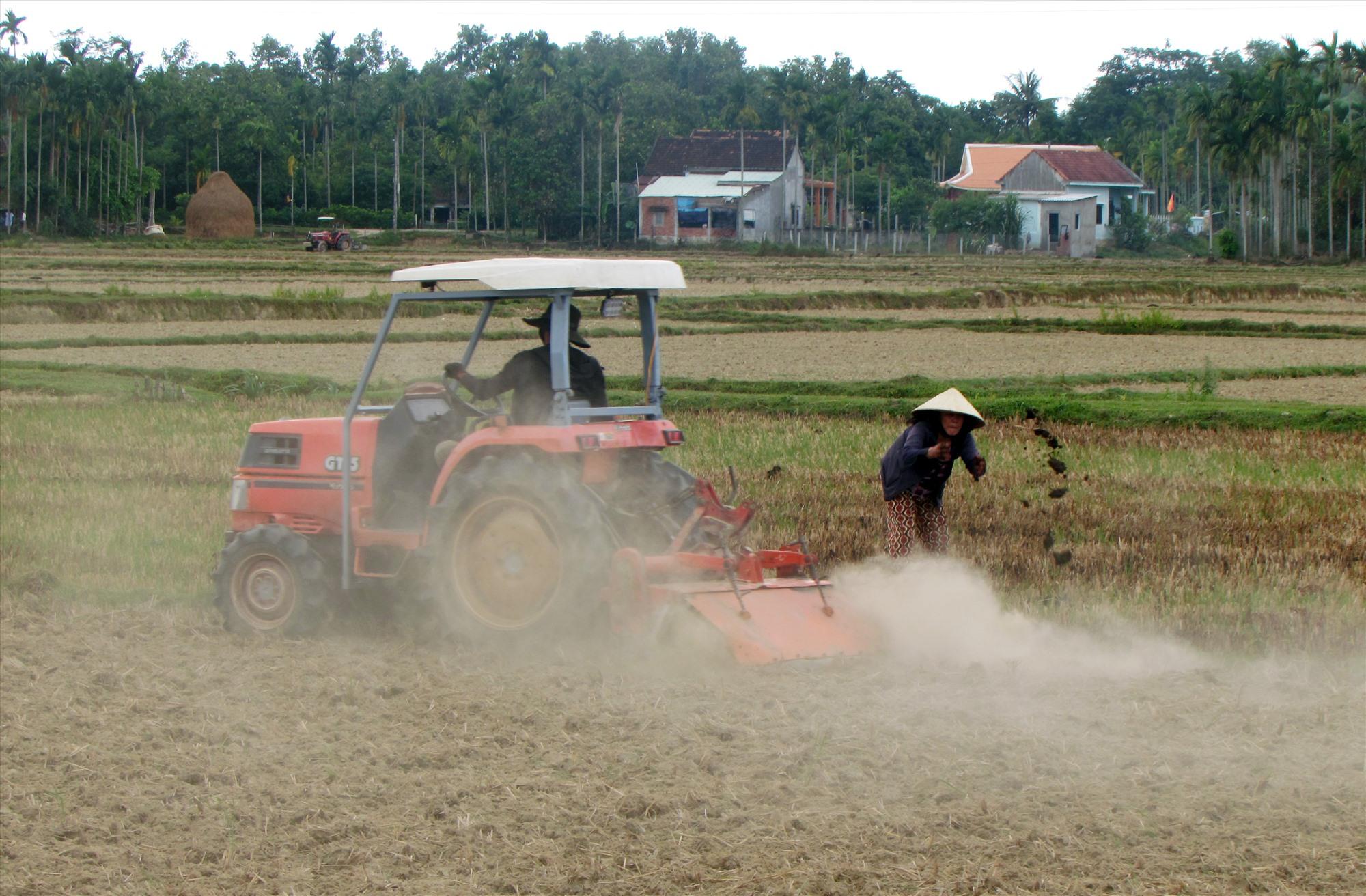 Nông dân Núi Thành nhanh chóng cày ải, làm đất sẵn sàng cho vụ hè thu. Ảnh: V.P