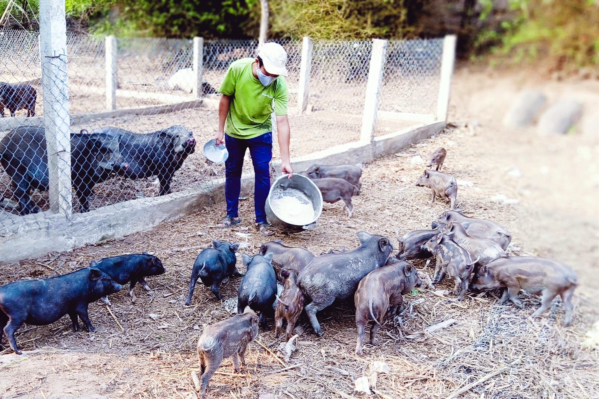 Mô hình chăn nuôi heo rừng lai kết hợp nuôi gà ta thả vườn của Tổ hợp tác chăn nuôi Hồng Trung, thôn Đầu Gò, Đại Sơn bước đầu phát huy hiệu quả. Ảnh: HOÀNG LIÊN