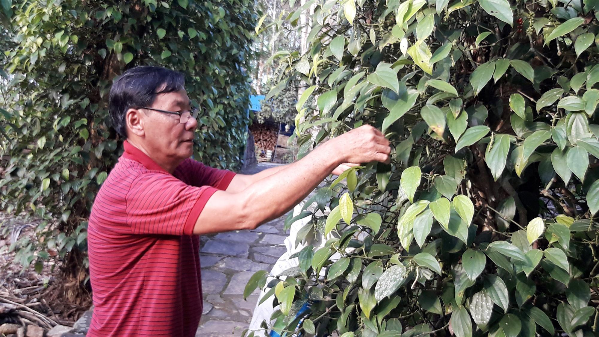 Mô hình trồng tiêu của gia đình ông Nguyễn Đình Lăng (thôn 3), Tiên Hiệp. Ảnh: H.H
