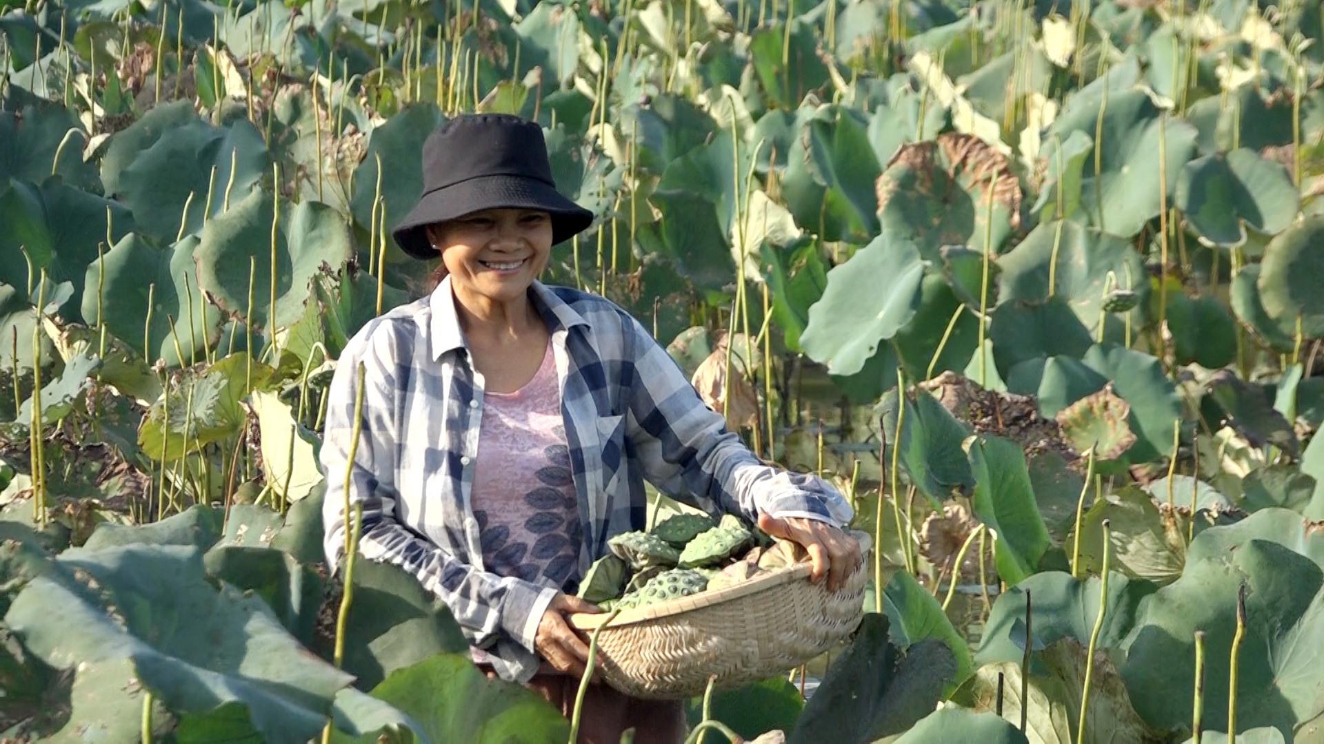 Vụ sen này chị Luyến đã thu hoạch được hơn 1 tạ sen thương phẩm. Ảnh: BIÊN THỰC
