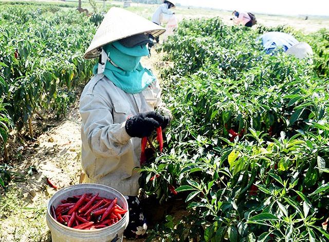 HTX Nông nghiệp Lệ Bắc liên kết với Công ty Thương mại Việt Thắng tổ chức cho nông dân xã Duy Châu sản xuất ớt theo phương thức bao tiêu toàn bộ sản phẩm. Ảnh: T.L