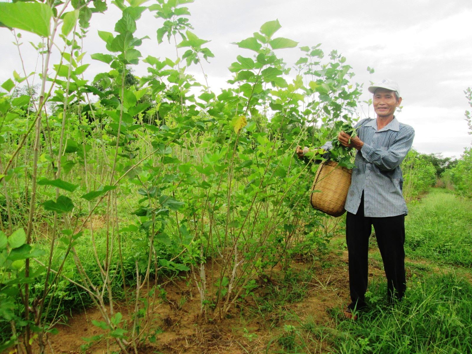 Hiện nay, toàn tỉnh chỉ có 18ha đất trồng dâu nuôi tằm. Ảnh: T.S