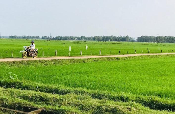 Năm 2020, Quảng Nam chuyển đổi cơ cấu cây trồng từ cây lúa sang các loại cây khác với diện tích 810ha. Ảnh: C.N