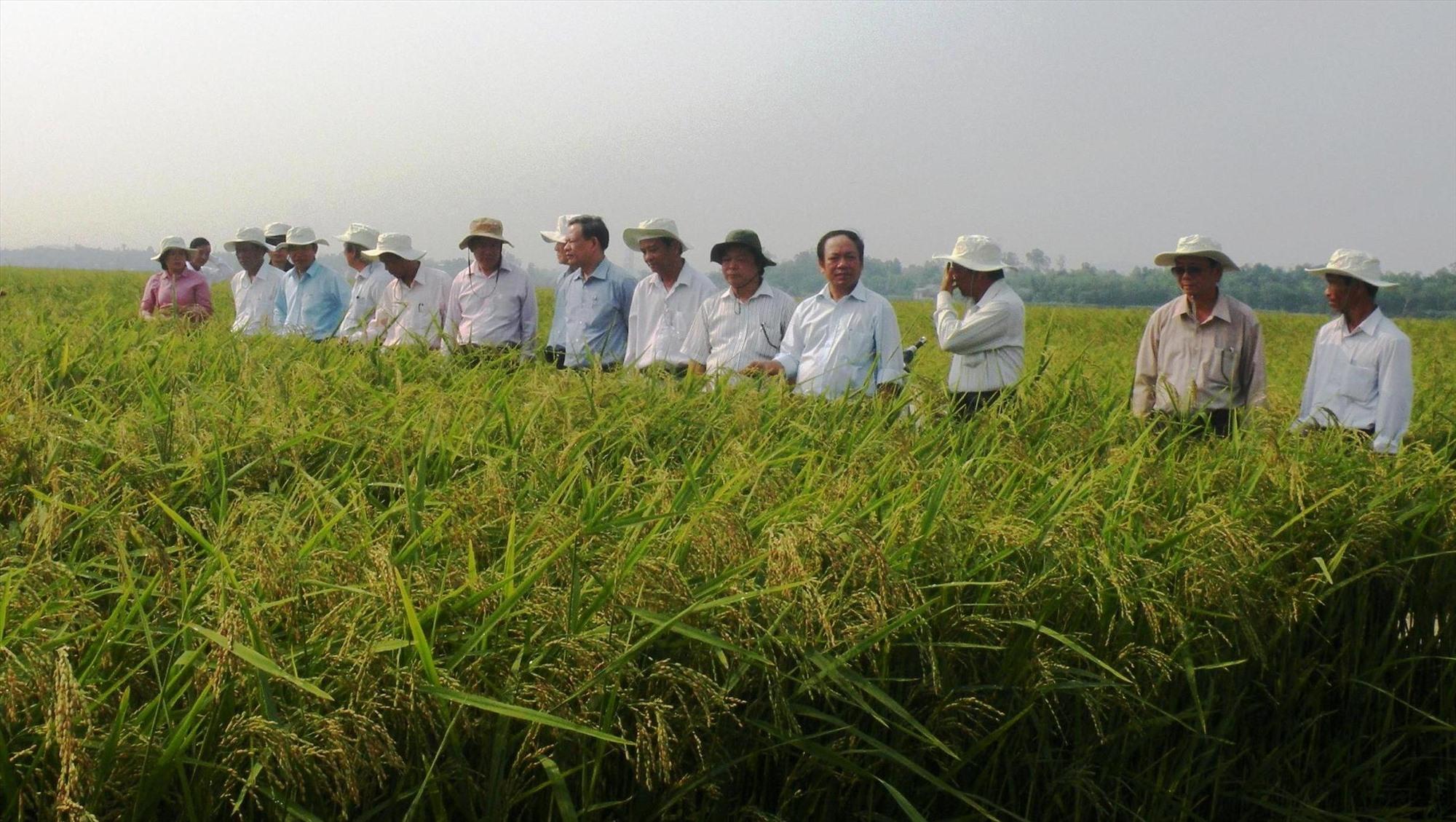 Trên những mô hình cánh đồng mẫu lớn, nông dân Quế Xuân 1 liên kết với các doanh nghiệp sản xuất giống lúa hàng hóa.     Ảnh: VĂN SỰ