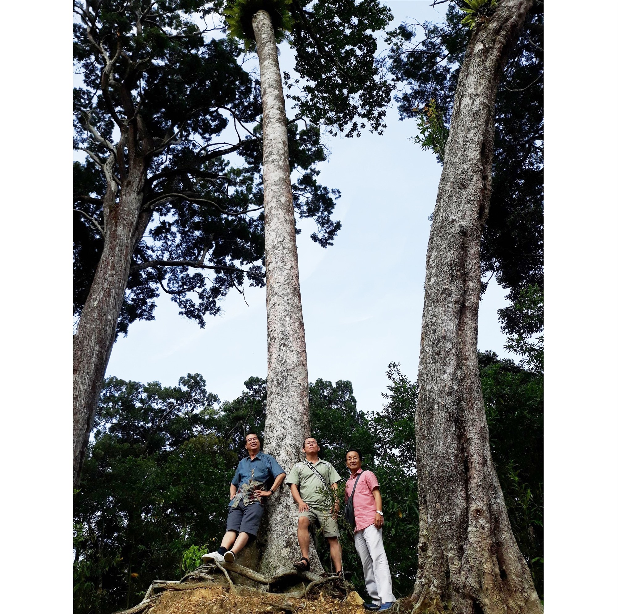 Khám phá rừng cây di sản Pơ mu ở Tây Giang. Ảnh: C.T.V