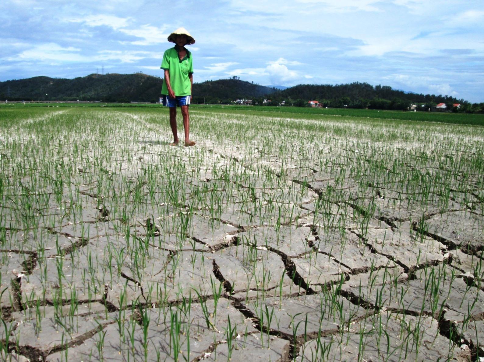 Thời gian tới, nếu nắng nóng tiếp tục kéo dài, mực nước của hàng loạt hồ chứa tụt giảm mạnh thì nguy cơ gần 10.000ha lúa hè thu sẽ bị khô hạn.