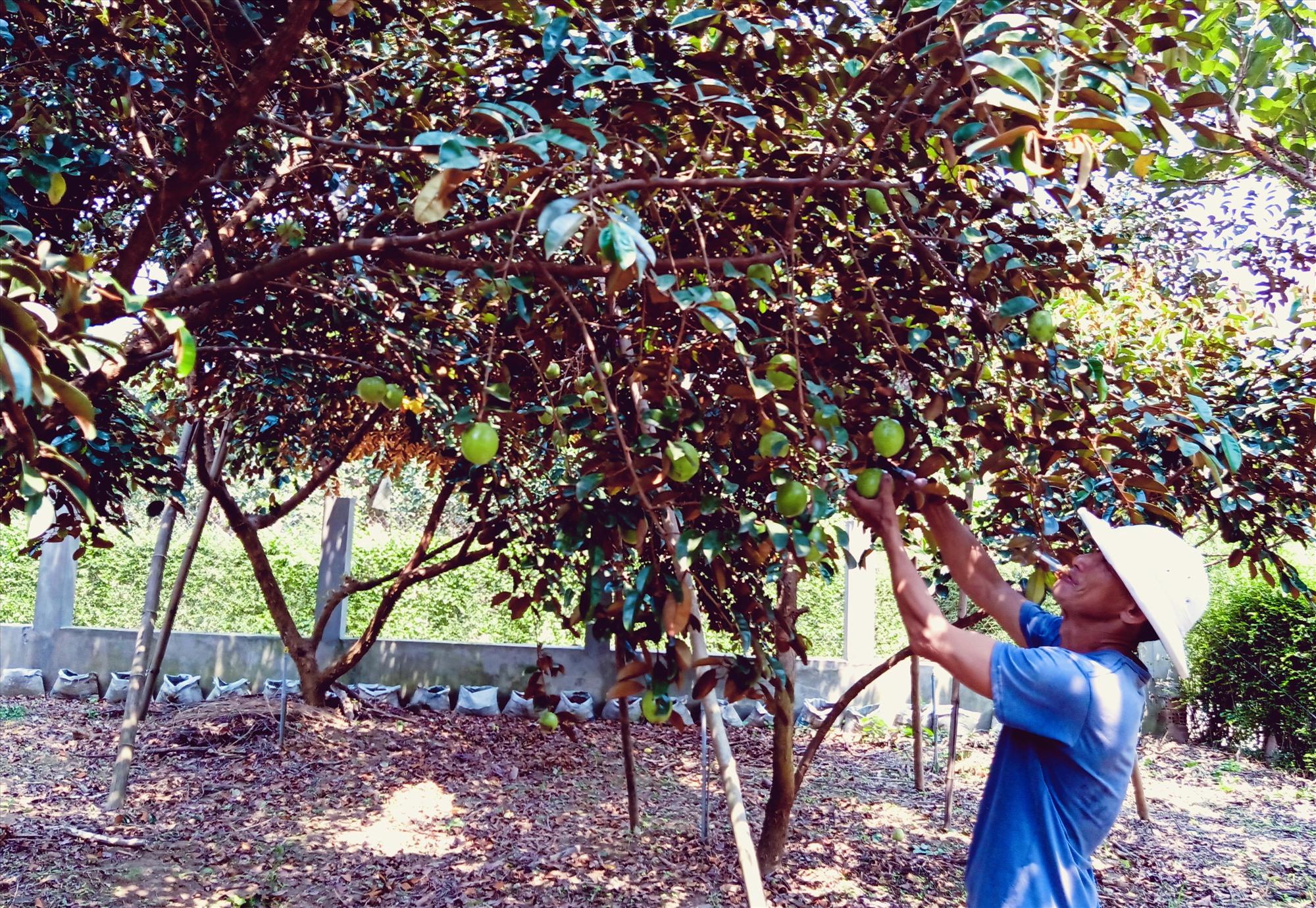 Vườn cây ăn quả của hộ ông Nguyễn Hạt, xã Đại Hưng rộng hơn héc ta với mít Thái Lan, bưởi da xanh, cam Vinh, vú sữa. Ảnh: HOÀNG LIÊN