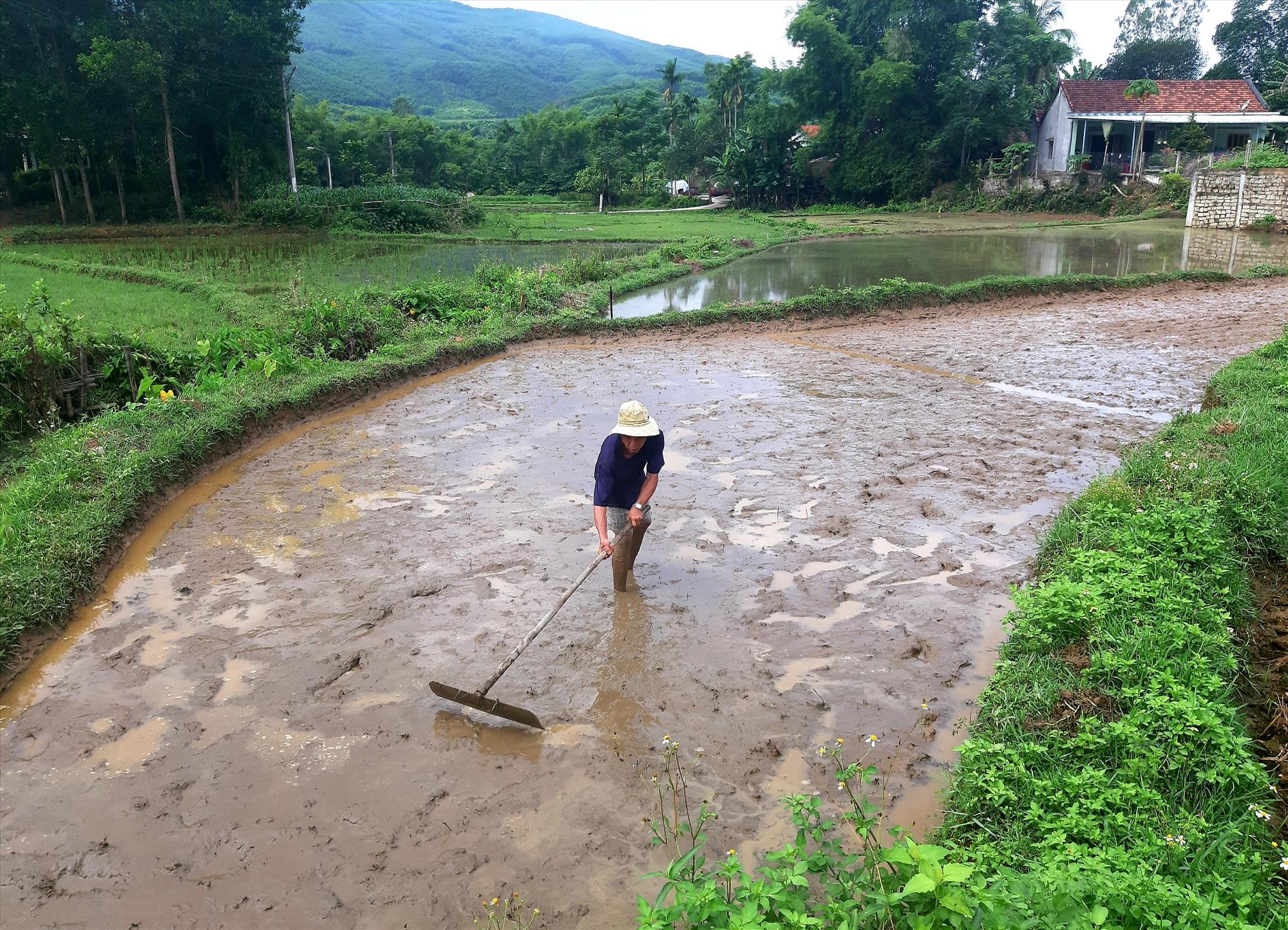 Hè thu này, ông Trần Văn Tin ở thôn Phú Bình (xã Quế Thọ) chỉ sử dụng loại giống lúa ngắn ngày Sơn Lâm 1 để gieo sạ. Ảnh: A.S