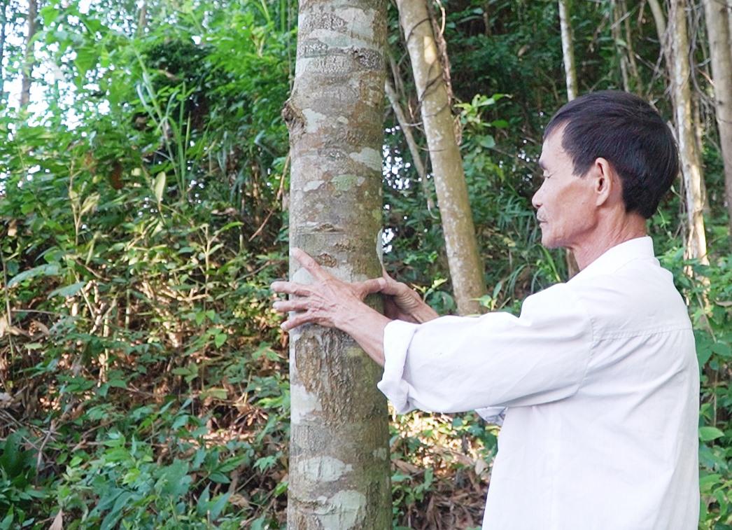 Nhiều khó khăn, bất cập trong quy định đã làm cho việc thu hồi đất rừng phòng hộ Phú Ninh bị kéo dài, keo của người dân đã đến lúc khai thác. Ảnh: PHAN VINH