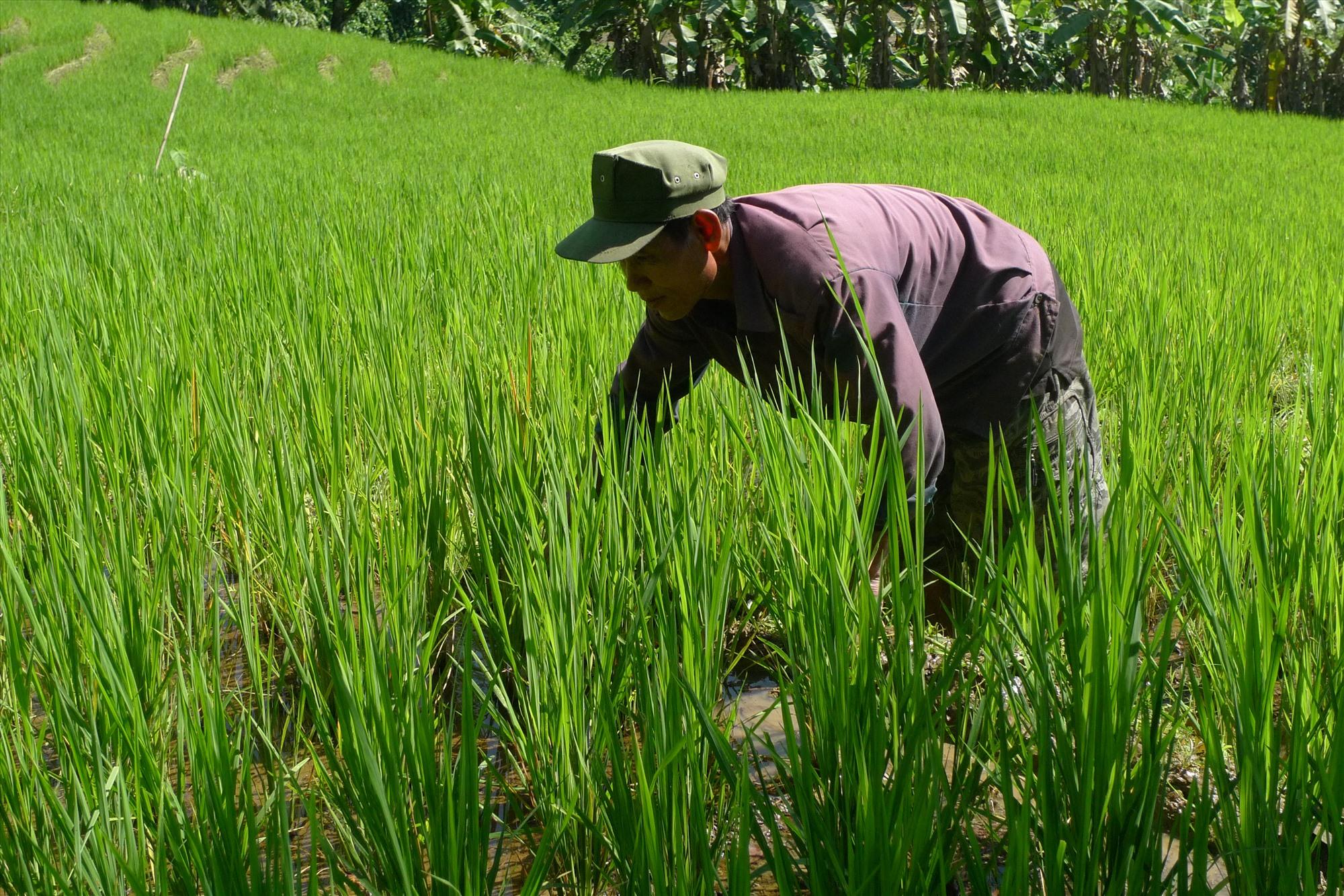 Việc ứng dụng mô hình canh tác lúa cải tiến góp phần tăng năng suất, giảm chi phí cho người dân. Ảnh: M.H