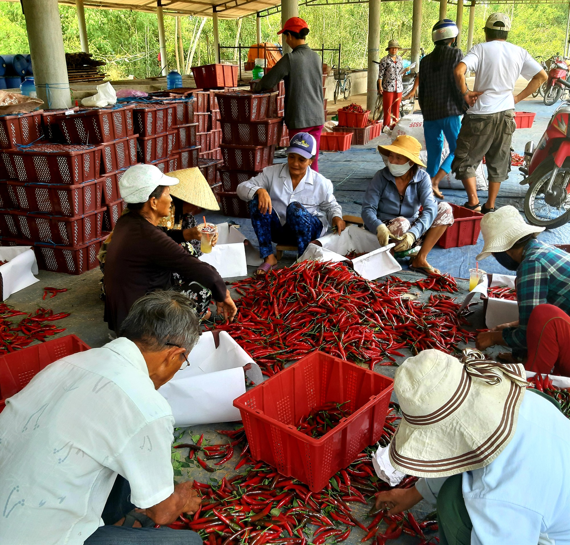 Mô hình liên kết sản xuất ớt theo chuỗi giá trị giúp người dân xã Duy Châu (Duy Xuyên) có nguồn thu nhập cao và yên tâm về khâu tiêu thụ. Ảnh: VĂN SỰ