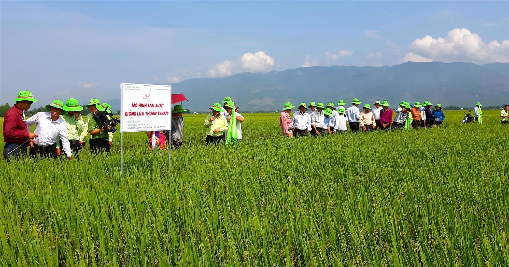 Bình quân hằng năm, Tập đoàn ThaiBinh Seed - Chi nhánh miền Trung & Tây Nguyên liên kết với nông dân trên địa bàn tỉnh sản xuất ít nhất 1.500ha giống lúa hàng hóa theo phương thức bao tiêu sản phẩm. Ảnh: VĂN SỰ