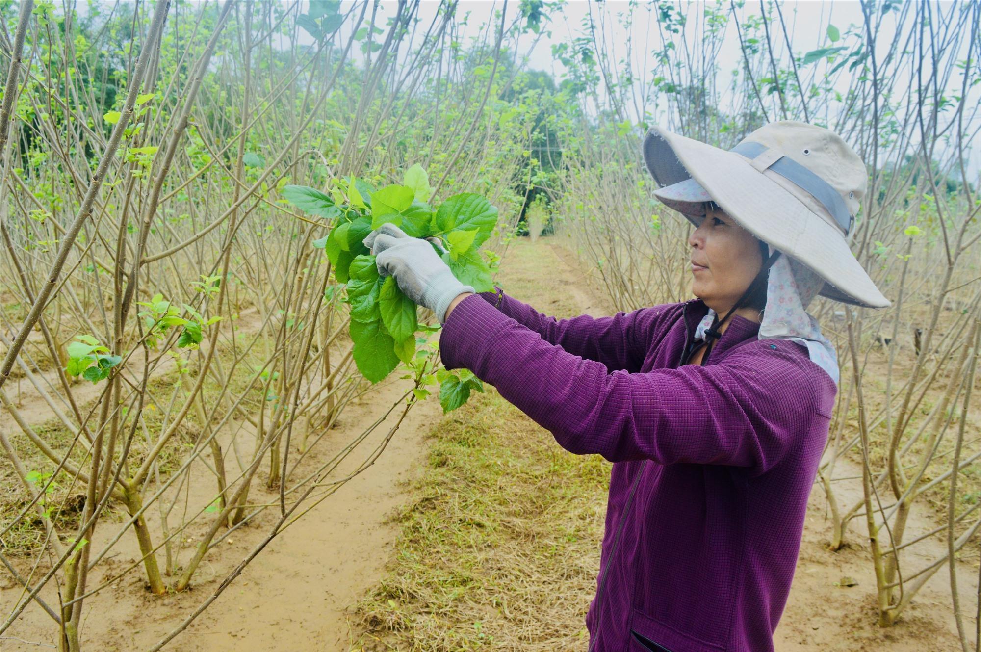 Diện tích cây dâu ở Quảng Nam hiện nay vẫn chỉ lác đác ở một số khu vực ven sông Thu Bồn. Ảnh: S.T