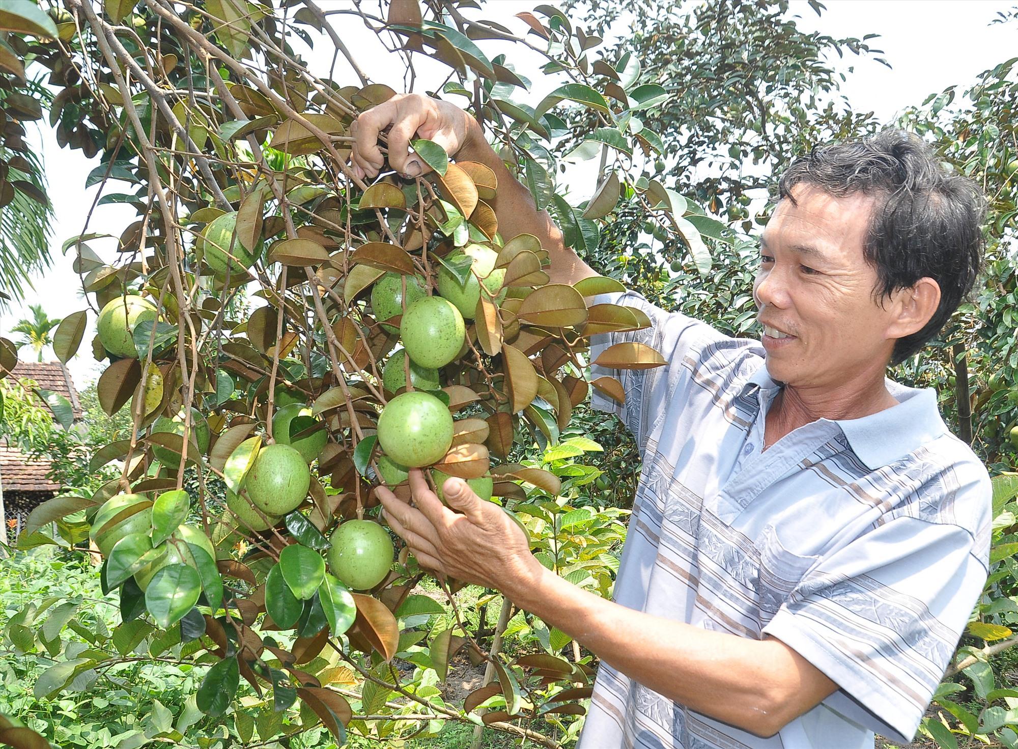 Nhiều địa phương ở Phú Ninh đẩy mạnh phát triển kinh tế vườn - rừng đem lại hiệu quả. Ảnh: V.A
