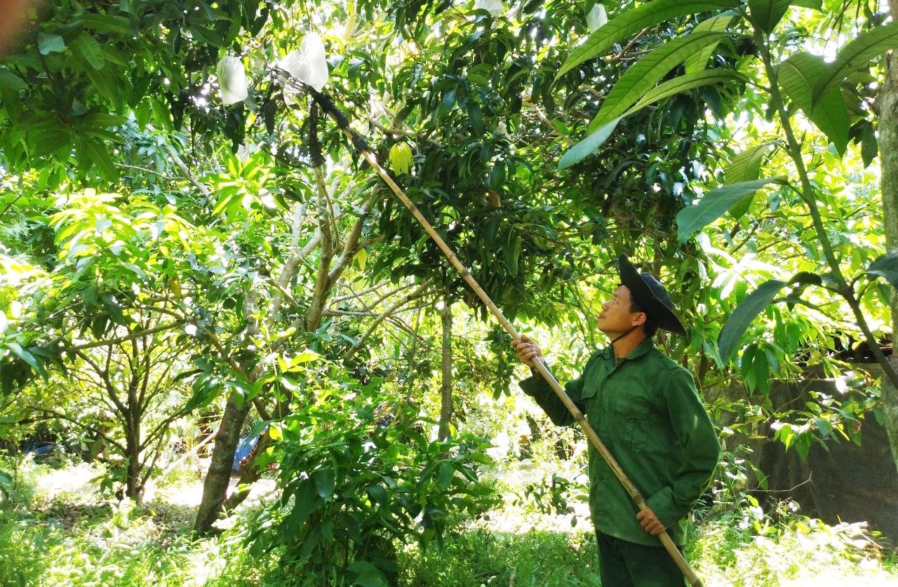 Vườn cây ăn trái của anh Cường hiện có hơn 10 loại, cho trái quanh năm. Ảnh: PHAN VINH