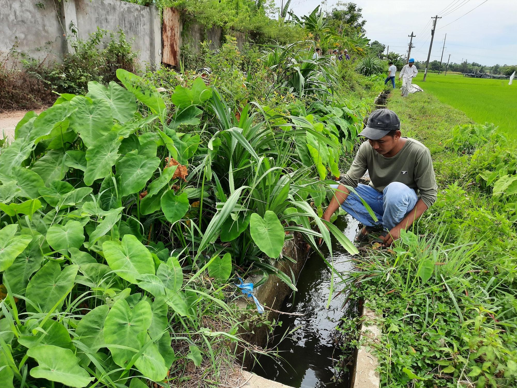 Người dân tố cáo trang trại nuôi gà xả thải trực tiếp vào mương tưới tiêu thủy lợi gây ô nhiễm môi trường. Ảnh: Đ. Q