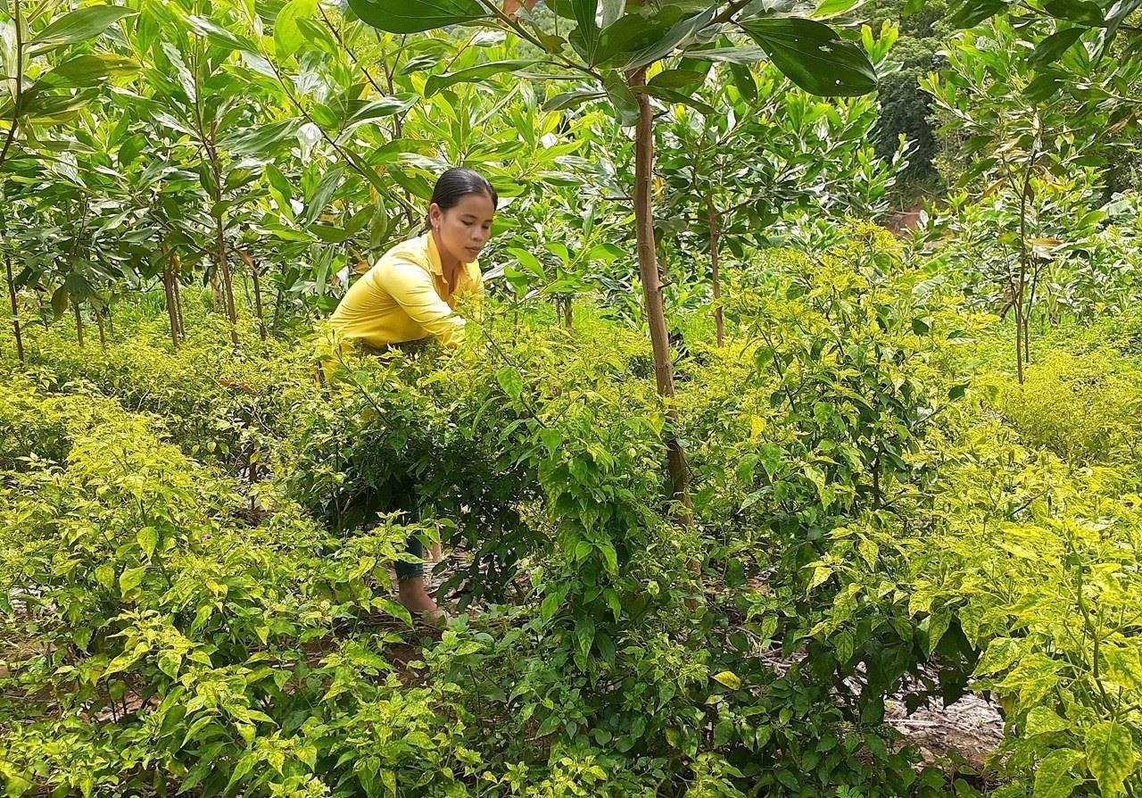 Cơ hội mở ra cho vùng trồng ớt A riêu hàng hóa. Ảnh: H.L