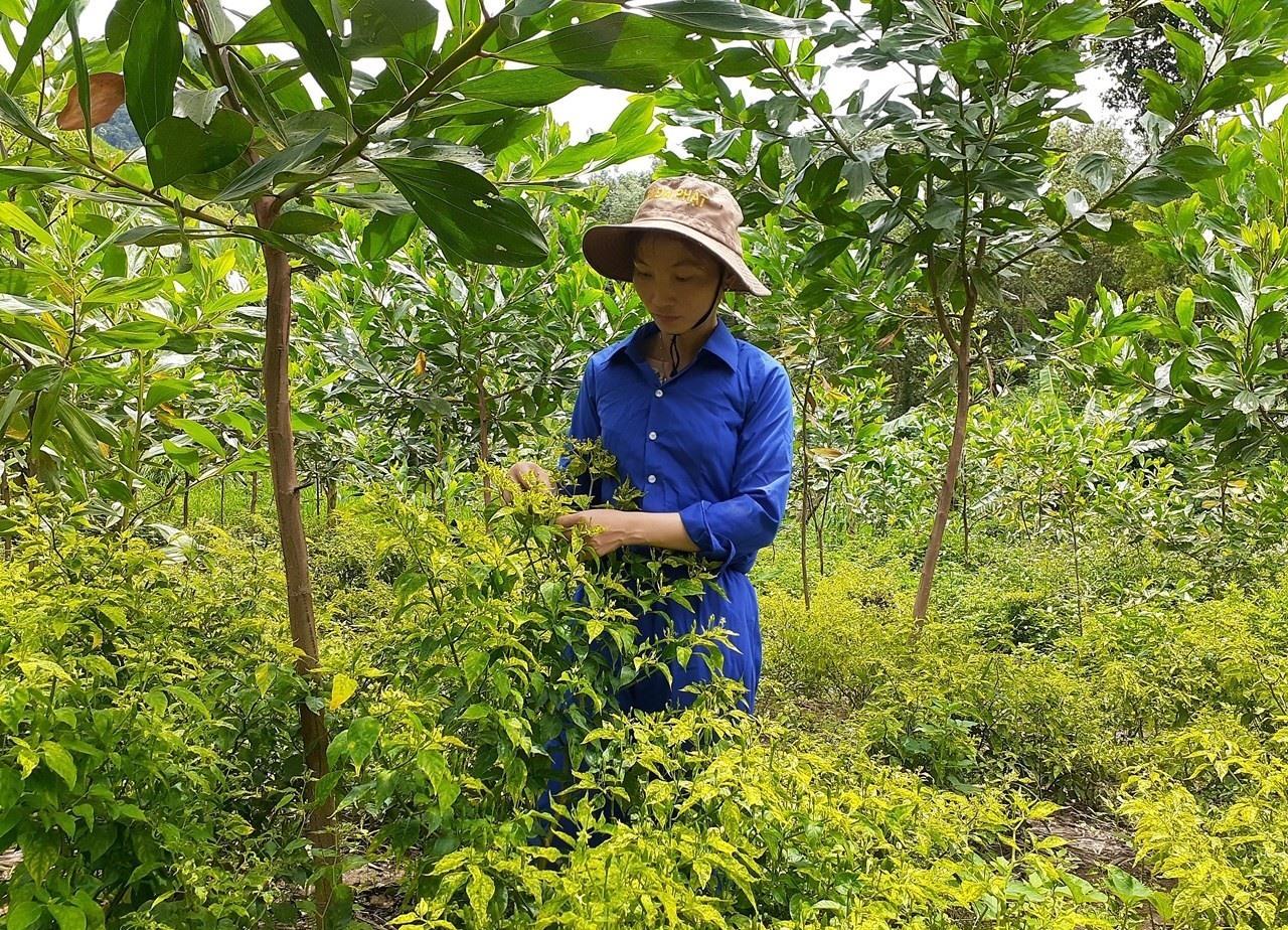 Cây ớt A riêu, thương hiệu của núi rừng Đông Giang. Ảnh: H.L