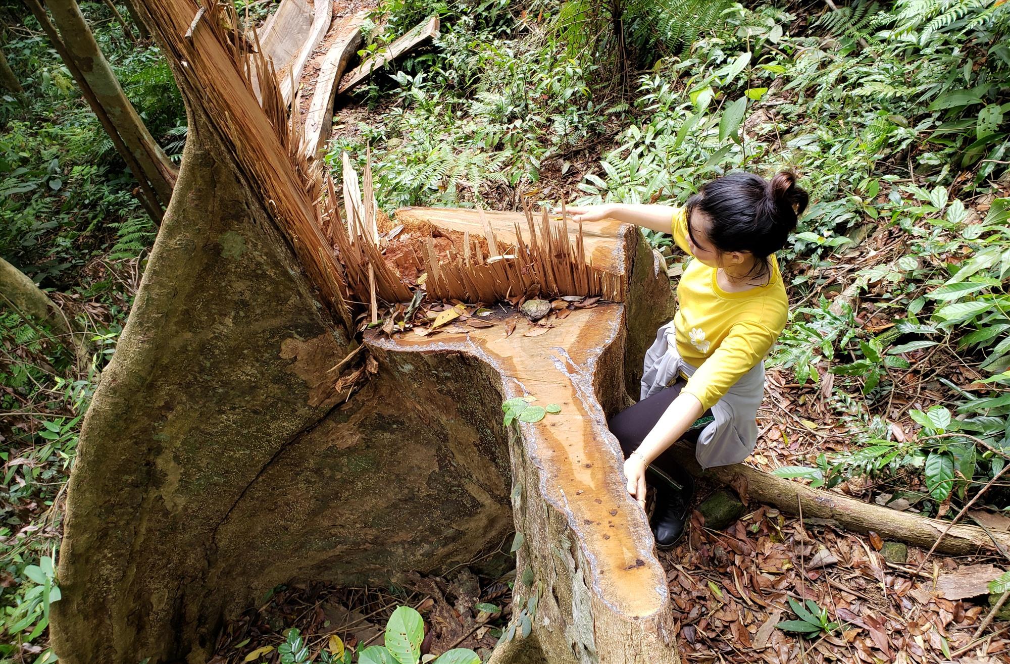 Một gốc cây lớn bị cưa hạ tại thôn 1, xã Trà Giáp. Ảnh: THANH THẮNG