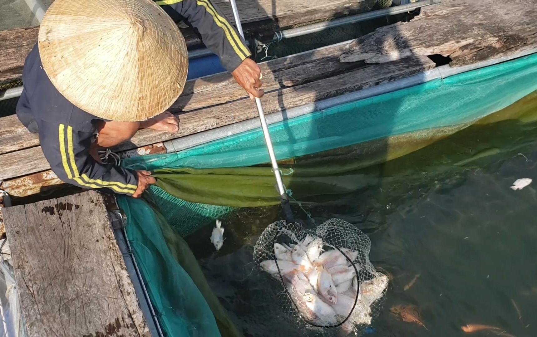 Người dân vớt cá chết trong lồng bè mang đi tiêu hủy. Ảnh: T.T