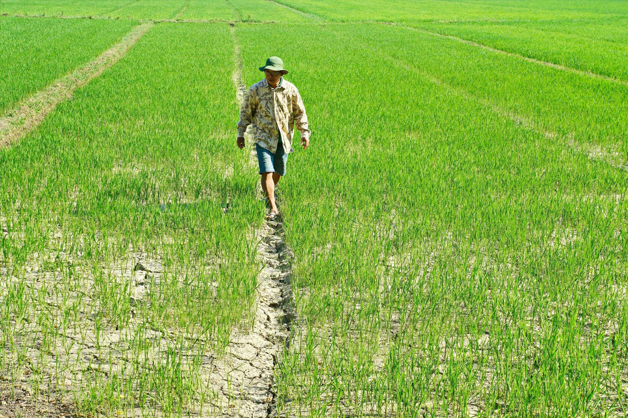 Ruộng đồng ở Hương Trà Đông (Hòa Hương) khô khốc. Ảnh: NGUYỄN ĐIỆN NGỌC