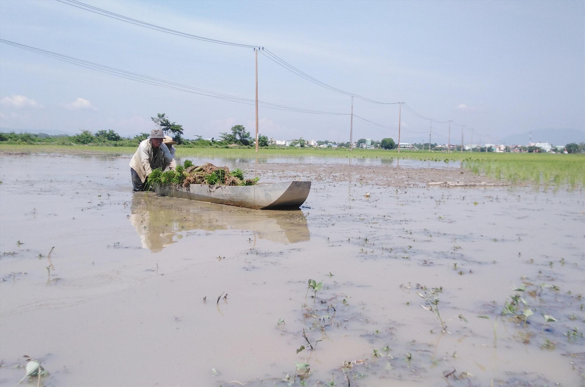 Ruộng sâu và nhiều bùn nên nông dân phải dùng thuyền vận chuyển mạ để cấy. Ảnh: B.T
